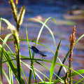 Blue dragonfly sits on a grass Royalty Free Stock Photo
