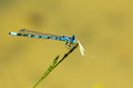 Blue dragonfly sitting on a blade of grass Royalty Free Stock Photo