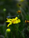 A blue dragonfly stopped on a yellow flower in autumn Royalty Free Stock Photo