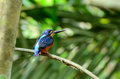 Blue eared kingfisher beautiful male alcedo meninting sitting on branch Stock Photos