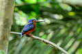 Blue eared kingfisher beautiful male alcedo meninting sitting on branch Royalty Free Stock Photos