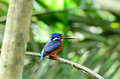 Blue eared kingfisher beautiful male alcedo meninting sitting on branch Royalty Free Stock Image
