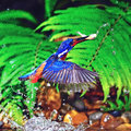 Blue eared kingfisher bird in action catch jumping fish male blued alcedo meninting Stock Photos