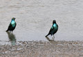 Blue eared starlings in water greater starling are also called as greater glossy starling Stock Photo