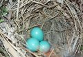 Blue eggs from unknown bird Royalty Free Stock Photo