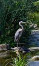 Blue egret at los angeles river a great closeup shot of a great heron Stock Photography