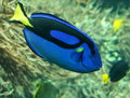 BLue exotic tropical fish Royalty Free Stock Photo