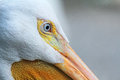 Blue eye of pelican close up image with wild florida Royalty Free Stock Images