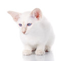 Blue eye Siamese kitten, on white
