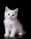 Blue eye white kitten Stock Photo