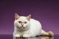 Blue Eyed British Kitten Lies on Purple Royalty Free Stock Photo