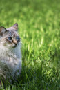 Blue eyed cat Royalty Free Stock Images