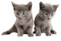 Blue eyed grey kittens on white Royalty Free Stock Photo