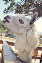 Blue eyed llama a reaching out for food Royalty Free Stock Photography