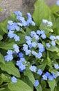 Blue eyed mary flowers omphalodes verna Royalty Free Stock Photos
