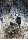 Blue eyed shag family in a nest in antarctica Stock Images