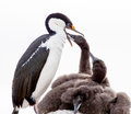 Blue eyed shag feeding chicks in antarctica Stock Photos