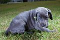 Blue eyes grey great dane puppy that has bright Stock Image