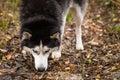 Blue eyes siberian dog husky closeup looking at the camera gaze in nature