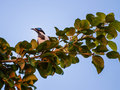 Blue faced honey eater sitting in a branch at glasshouse mountains australia Stock Photo