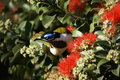 Blue faced honey eater a in a tree amongst some red flowers Royalty Free Stock Image