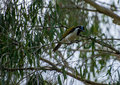 Blue faced honey eater in at tree at glasshouse mountains Royalty Free Stock Image
