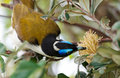 A Blue Faced Honeyeater Royalty Free Stock Image