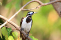 Blue faced honeyeater entomyzon cyanotis in darwin australia Stock Image