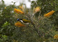 Blue faced honeyeater feasting on flowering grevillias the nambour queensland australia Stock Image