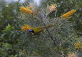 Blue faced honeyeater feasting on flowering grevillias the nambour queensland australia Stock Image