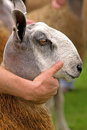 Blue Faced Leicester Sheep
