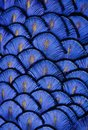 Blue Feathers Royalty Free Stock Photo