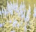 Blue Field Flowers Closeup. Shallow depth of field.