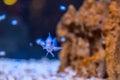 Blue fish in aquarium Royalty Free Stock Photo