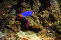 Blue fish on coral reef Royalty Free Stock Photo