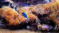 Sea corals and blue fish Royalty Free Stock Photo