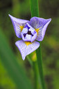 Blue Flag Iris Royalty Free Stock Photo