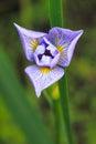 Blue Flag Iris Royalty Free Stock Photo