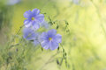Blue flax on a delicate green background.Delicate flowers of flax in the meadow. Artistic image of flowers.