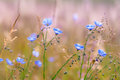 Blue flax flowers or linum lewisii field of many flowering plants in early morning Royalty Free Stock Images