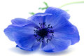 Blue flower anemone isolated white background Stock Images