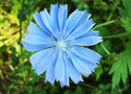 Blue flower of Chicory ordinary in summer day Royalty Free Stock Photo