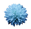 Blue flower chrysanthemum.  garden flower.  white  isolated background with clipping path.  Closeup. no shadows. Royalty Free Stock Photo