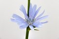 Blue flower common chicory cichorium intybus on a white background Stock Photo