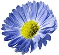 Blue flower daisy isolated on white background. For design. Closeup. Royalty Free Stock Photo