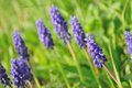 Blue Flower, Grape Hyacinth, M...