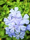 Blue flower plumbago or cape leadwort Stock Photography