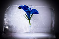 Blue Flower Trapped in Ice Cube Royalty Free Stock Photo
