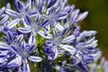 Blue Flowering Agapanthus In A Garden