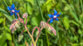 Blue flowering Starflower Stock Images
